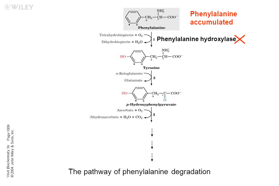 The pathway of phenylalanine degradation