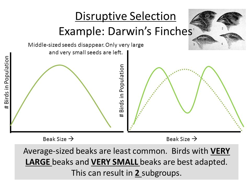 Disruptive Selection Example: Darwin's Finches