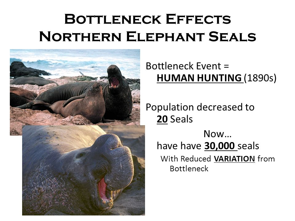 Bottleneck Effects Northern Elephant Seals