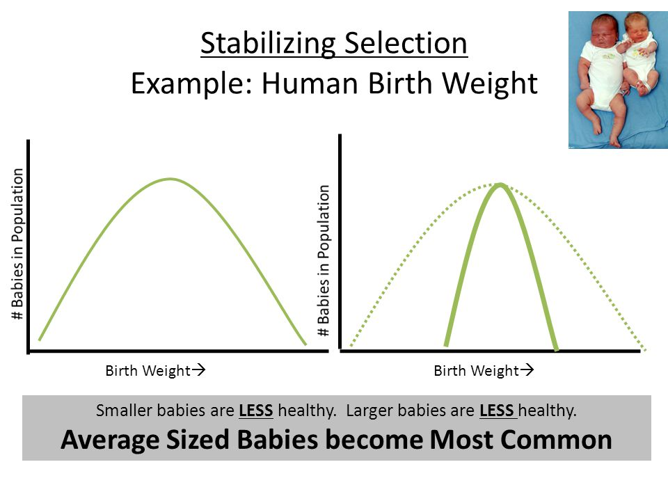 Stabilizing Selection Example: Human Birth Weight