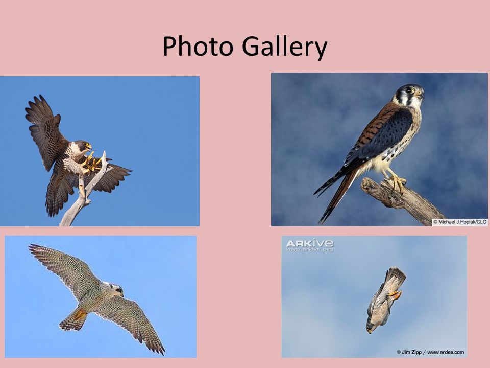 peregrine falcon by aj ms weinberg ppt video online