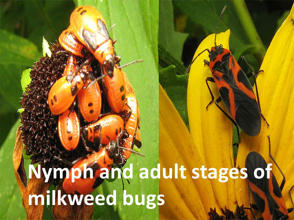 Nymph and adult stages of