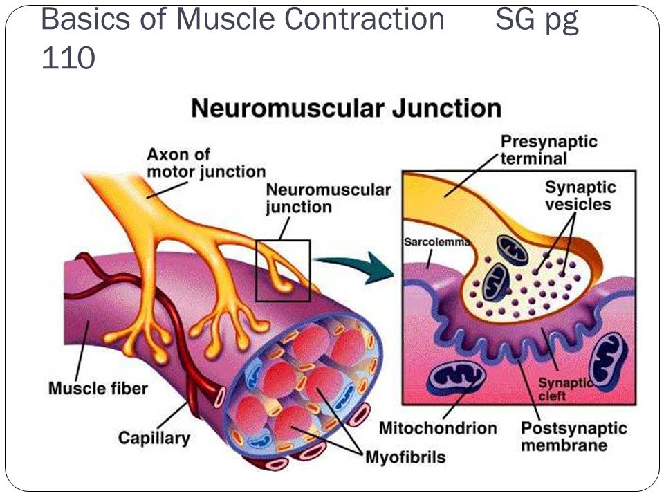 Basics of Muscle Contraction SG pg 110