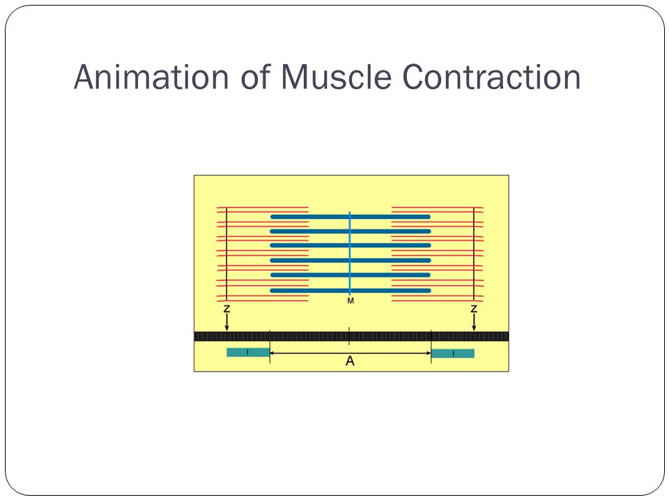 Animation of Muscle Contraction