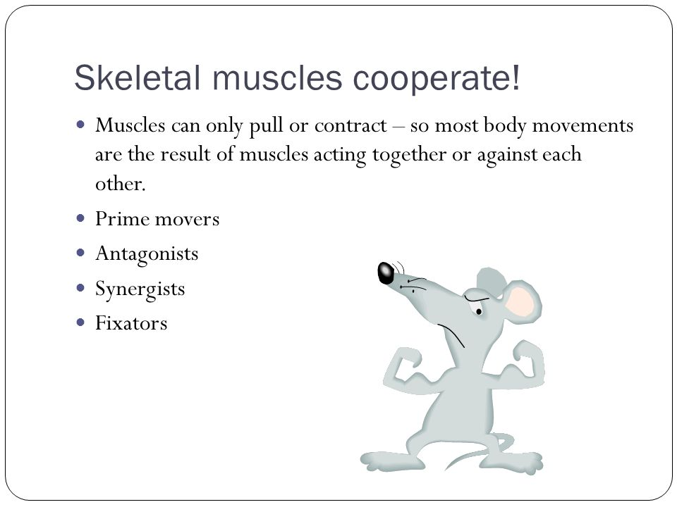 Skeletal muscles cooperate!