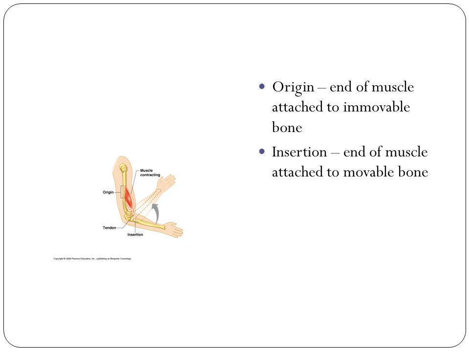 Origin – end of muscle attached to immovable bone