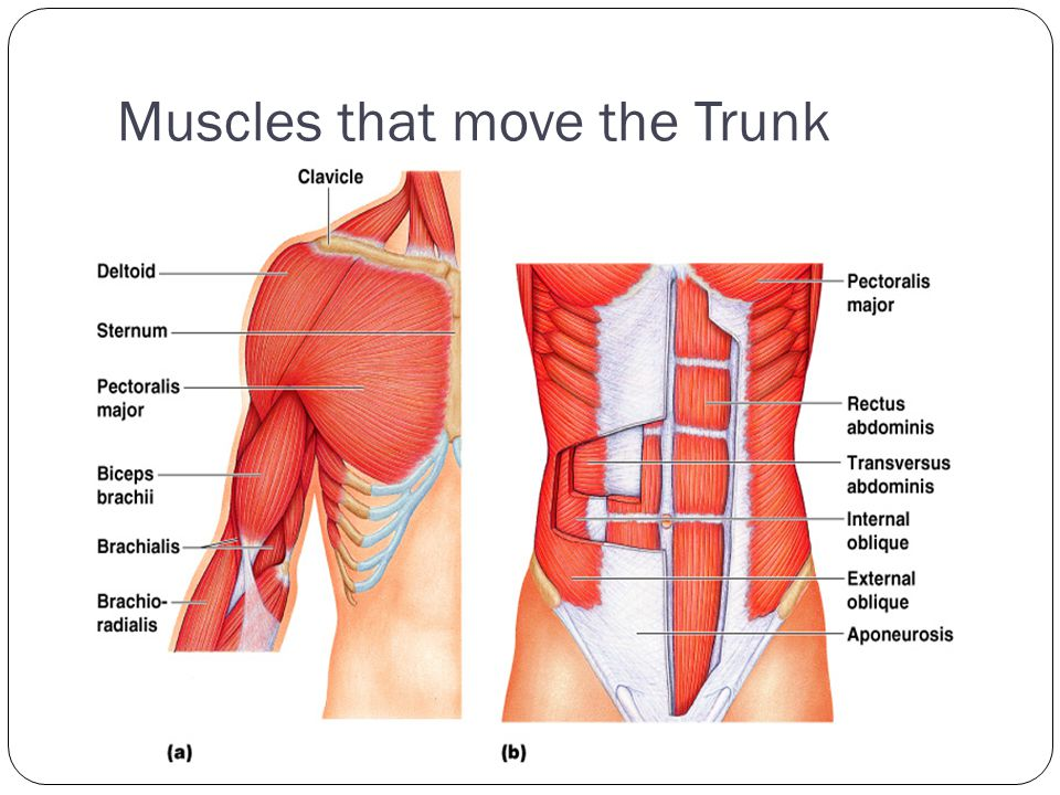 Muscles that move the Trunk