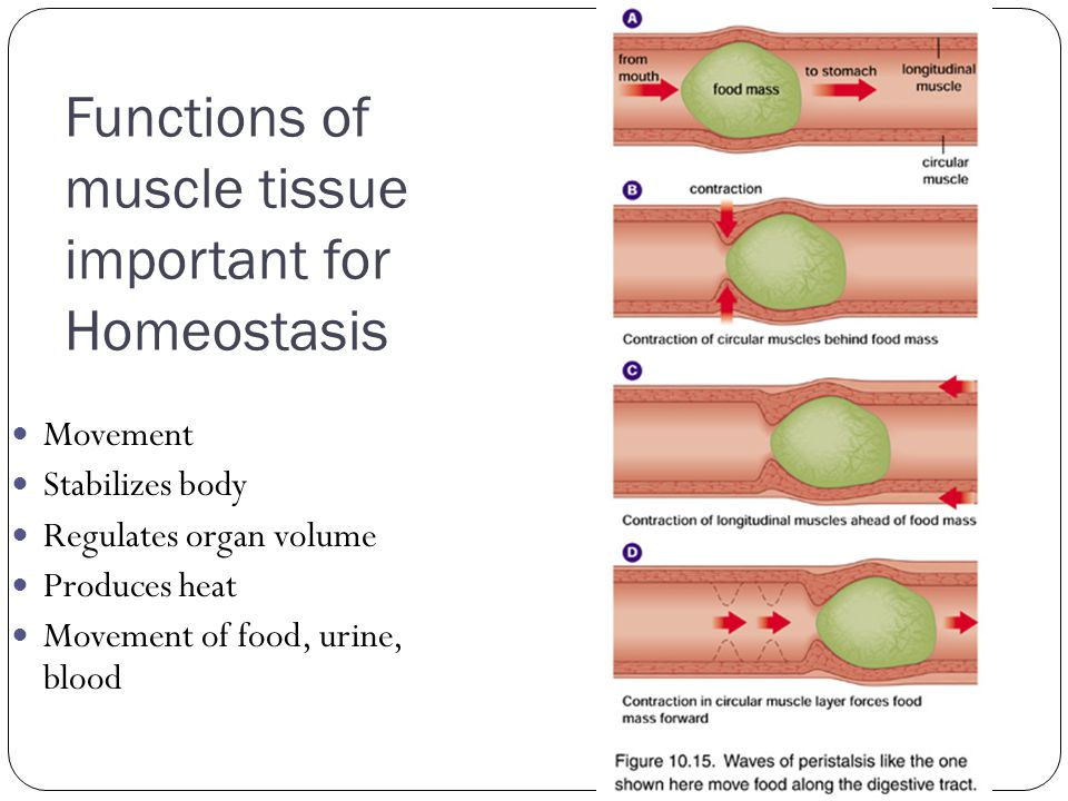 Functions of muscle tissue important for Homeostasis