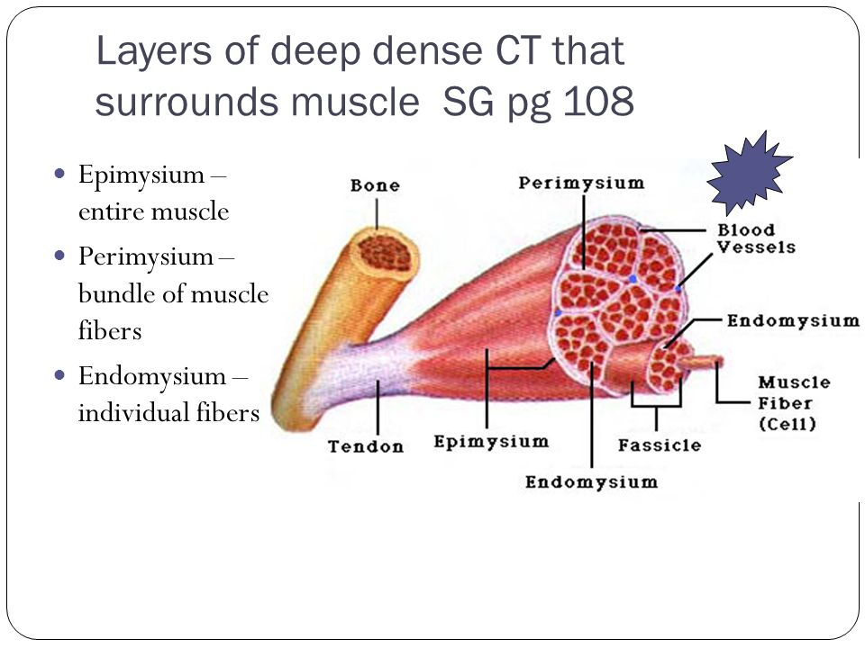 Layers of deep dense CT that surrounds muscle SG pg 108