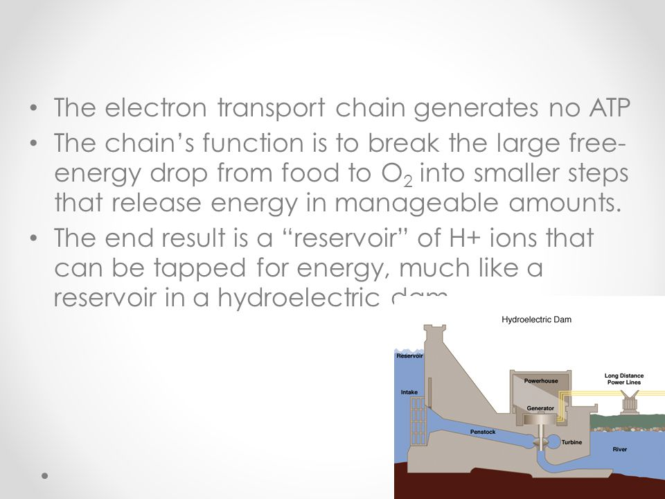 The electron transport chain generates no ATP