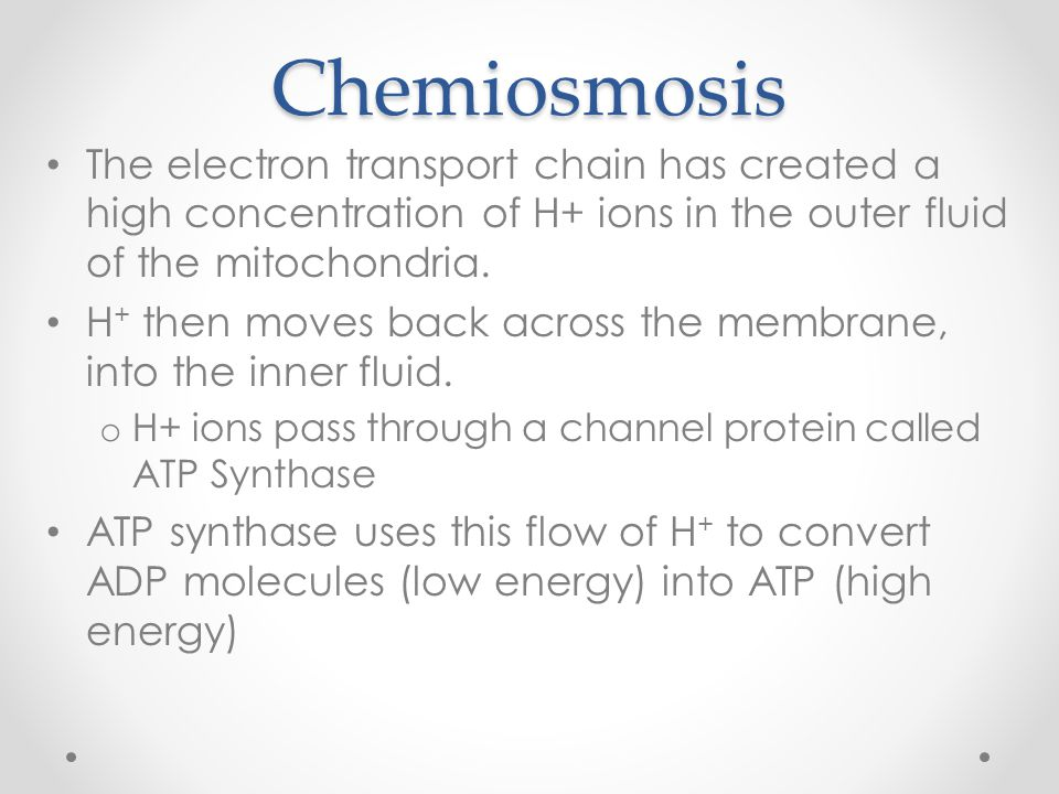 Chemiosmosis The electron transport chain has created a high concentration of H+ ions in the outer fluid of the mitochondria.