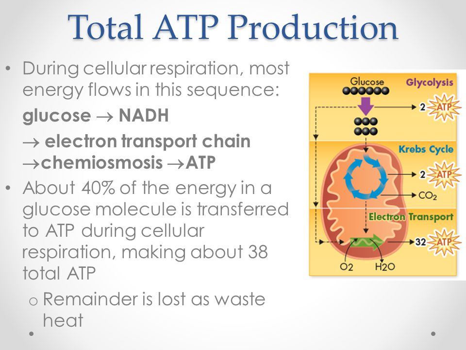 Total ATP Production During cellular respiration, most energy flows in this sequence: glucose  NADH 