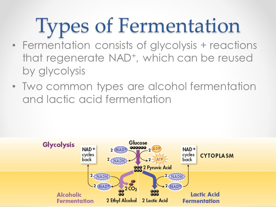Types of Fermentation Fermentation consists of glycolysis + reactions that regenerate NAD+, which can be reused by glycolysis.