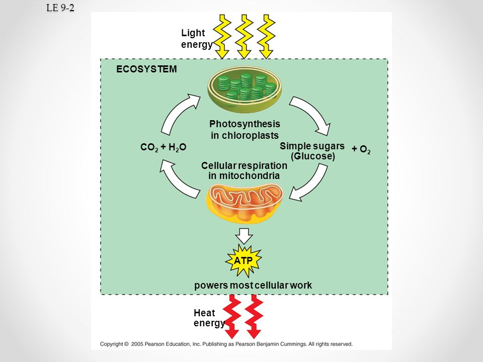 LE 9-2 Light energy ECOSYSTEM Photosynthesis in chloroplasts CO2 + H2O