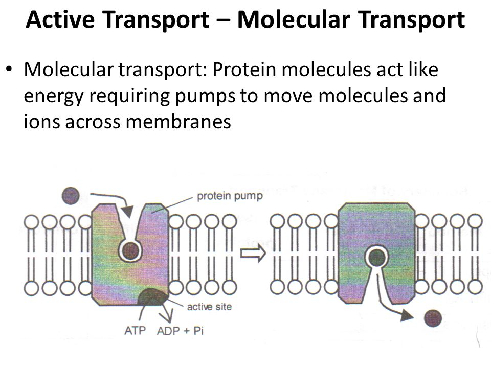 Active Transport – Molecular Transport