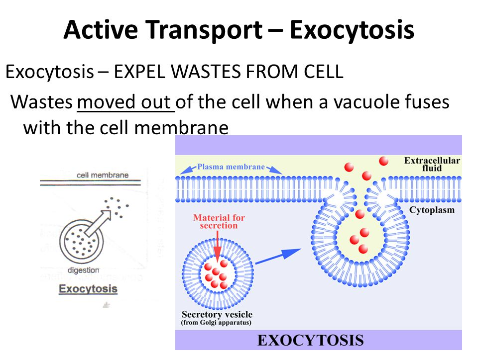 Active Transport – Exocytosis