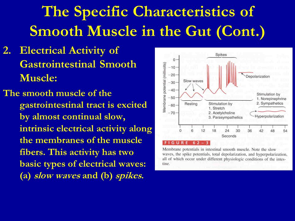 The Specific Characteristics of Smooth Muscle in the Gut (Cont.)