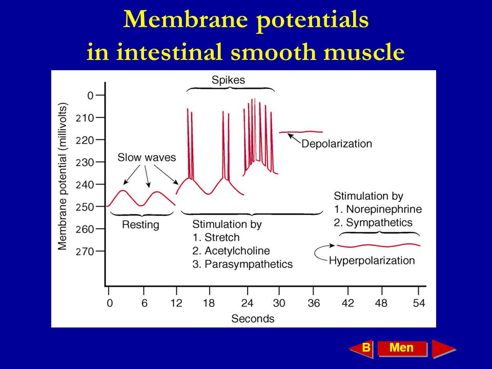 Membrane potentials in intestinal smooth muscle