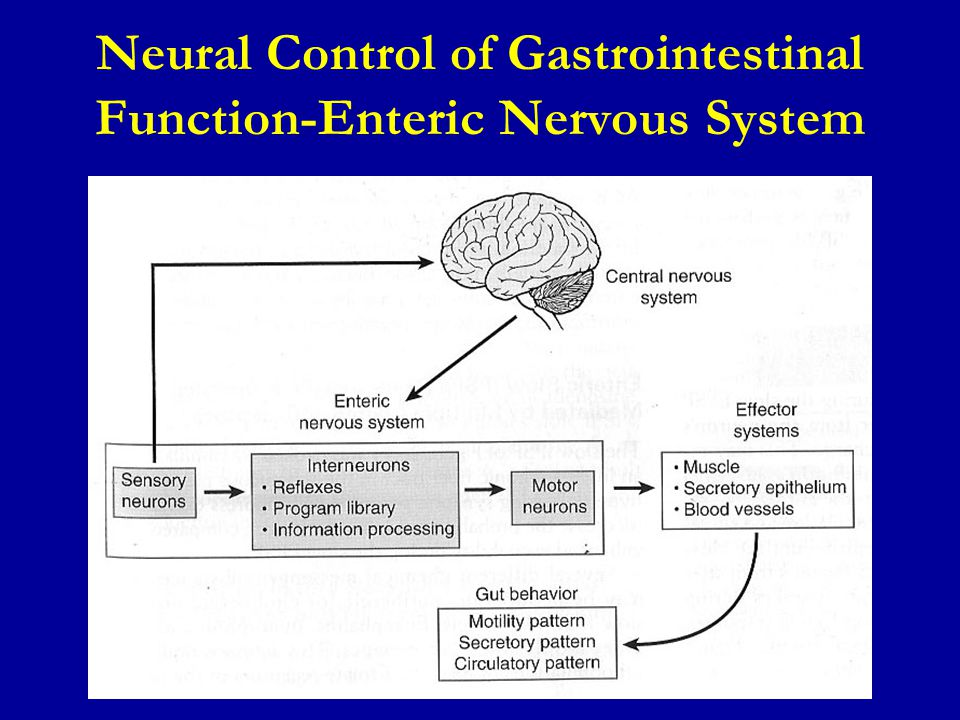 Neural Control of Gastrointestinal Function-Enteric Nervous System