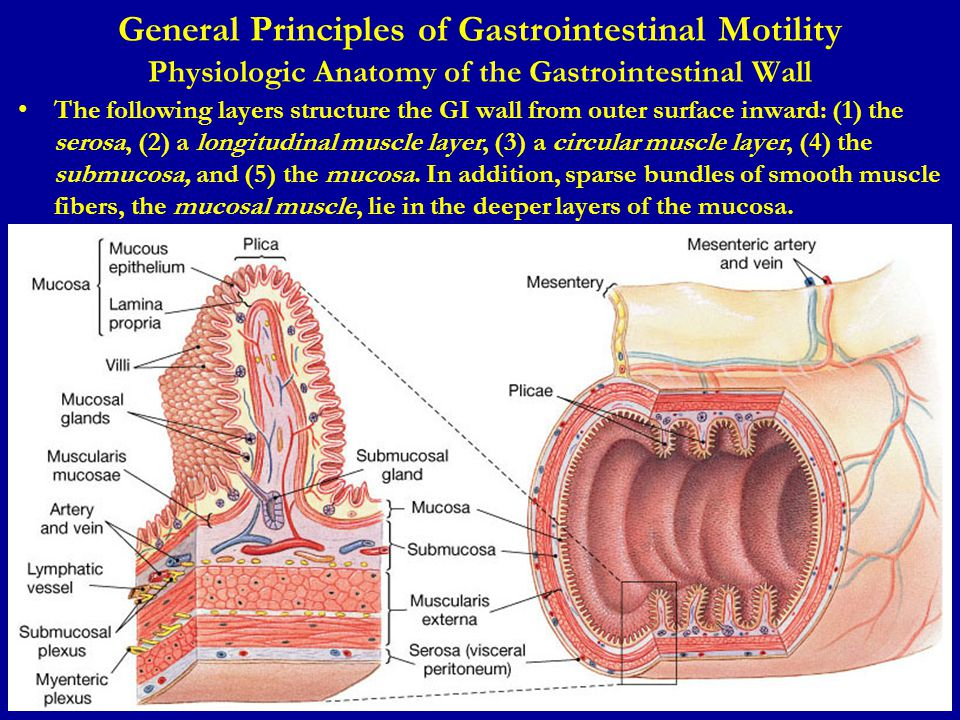 General Principles of Gastrointestinal Motility Physiologic Anatomy of the Gastrointestinal Wall