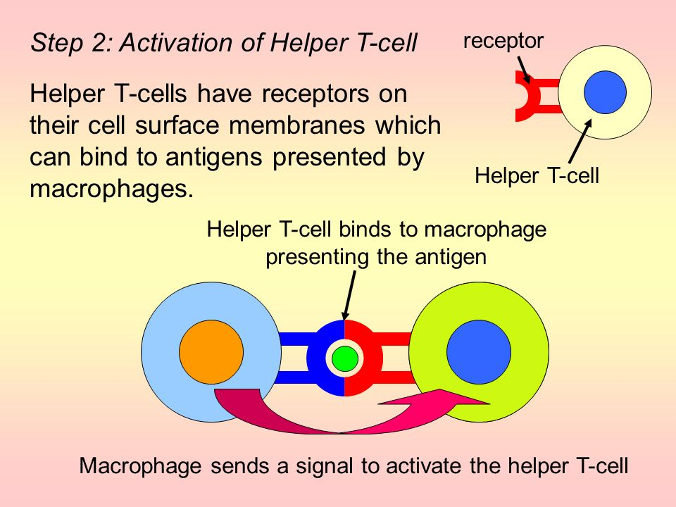 Helper T-cell binds to macrophage presenting the antigen