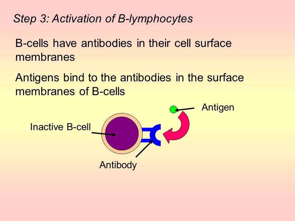 Step 3: Activation of B-lymphocytes