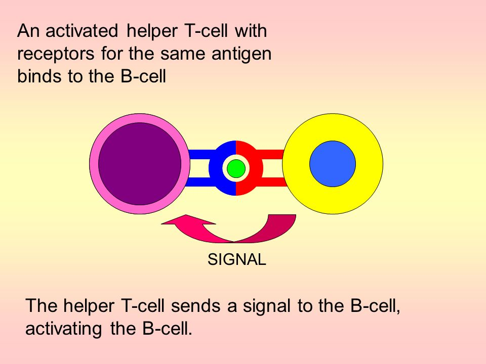 The helper T-cell sends a signal to the B-cell, activating the B-cell.