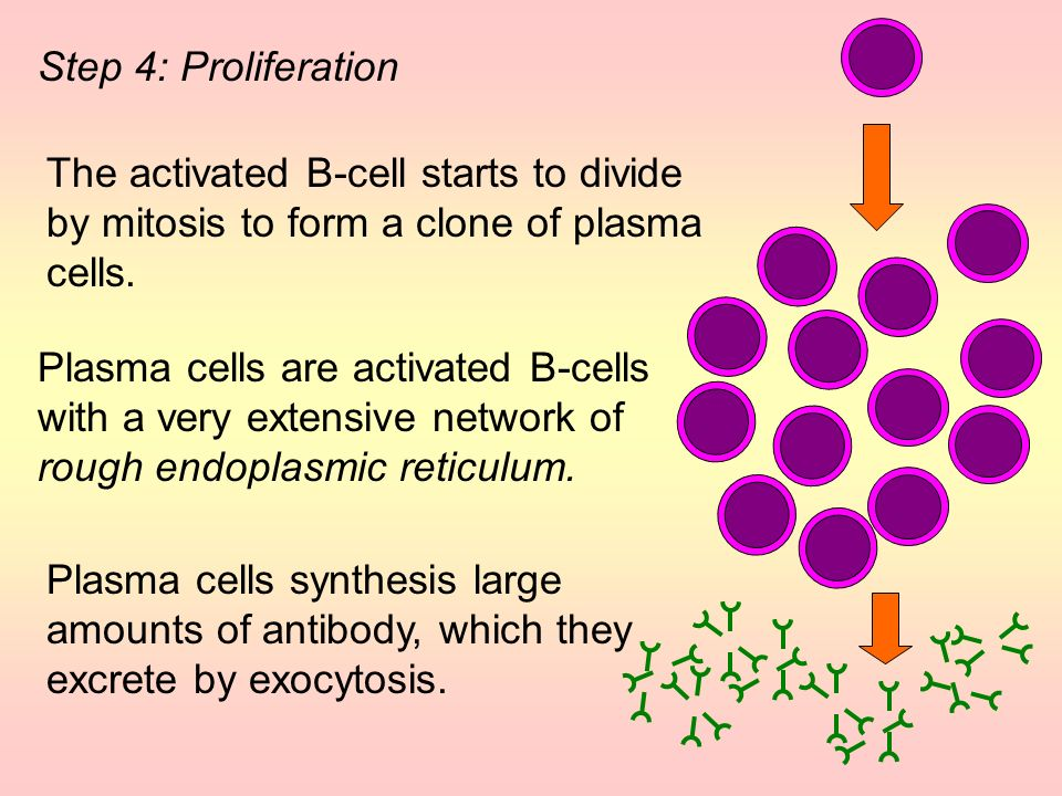 The activated B-cell starts to divide by mitosis to form a clone of plasma cells.