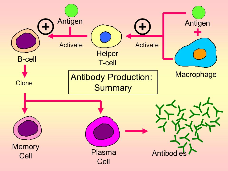 Antibody Production: Summary Antigen Antigen Helper T-cell B-cell