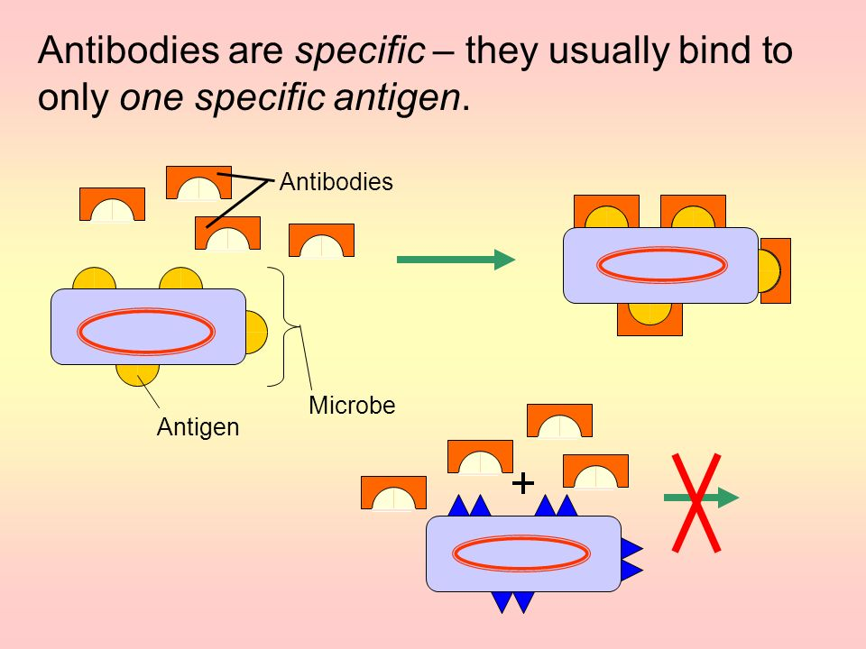 Antibodies are specific – they usually bind to only one specific antigen.
