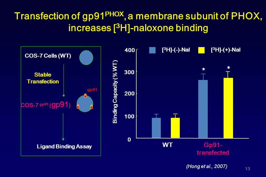 Transfection of gp91PHOX, a membrane subunit of PHOX,