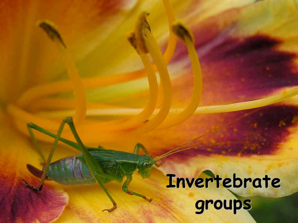 Invertebrate groups copyright cmassengale