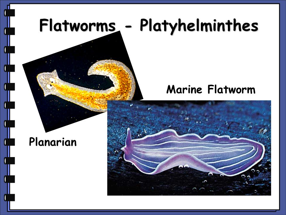 Flatworms - Platyhelminthes