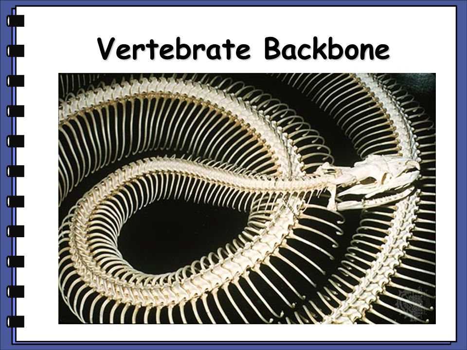 Vertebrate Backbone copyright cmassengale
