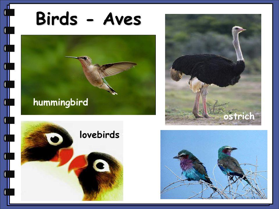 Birds - Aves hummingbird ostrich lovebirds copyright cmassengale