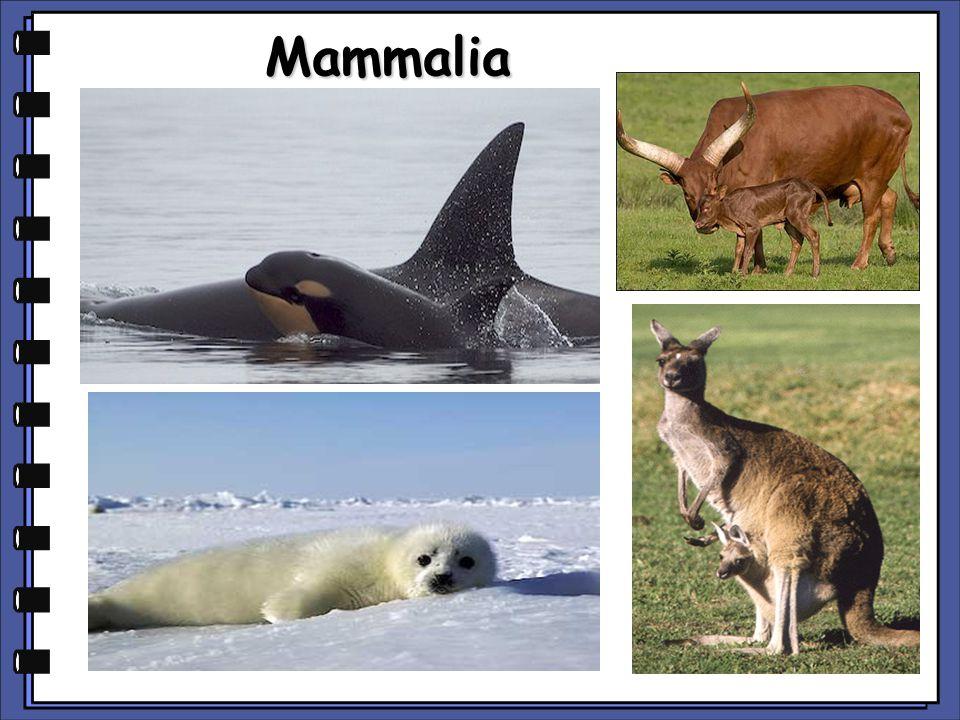 Mammalia copyright cmassengale