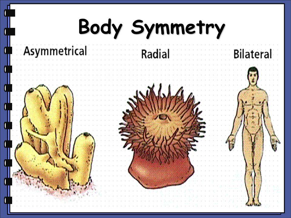 Body Symmetry copyright cmassengale