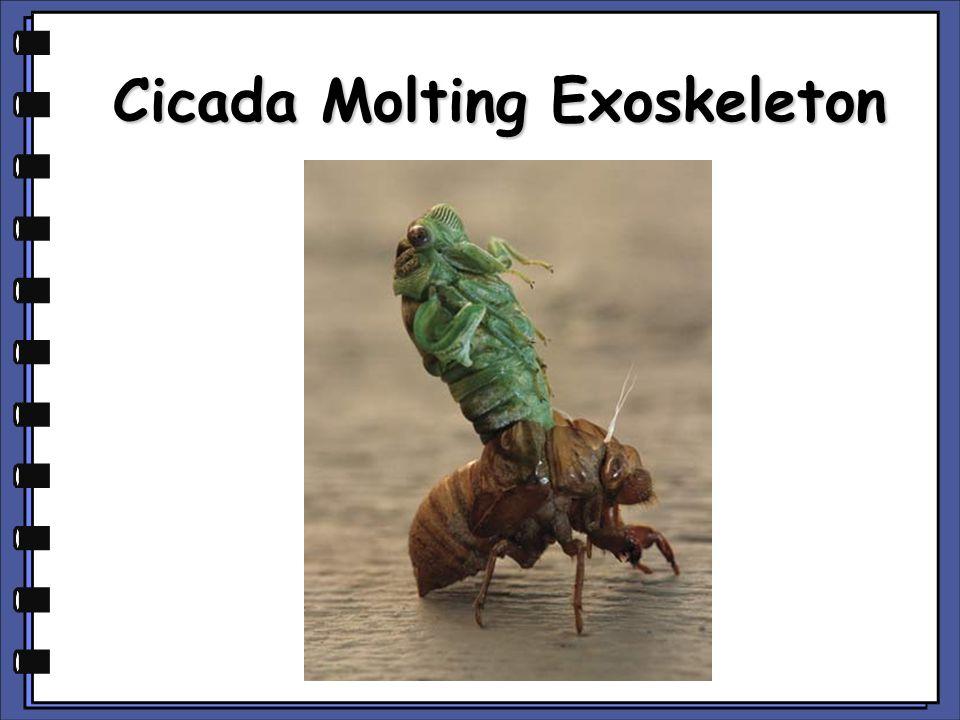 Cicada Molting Exoskeleton