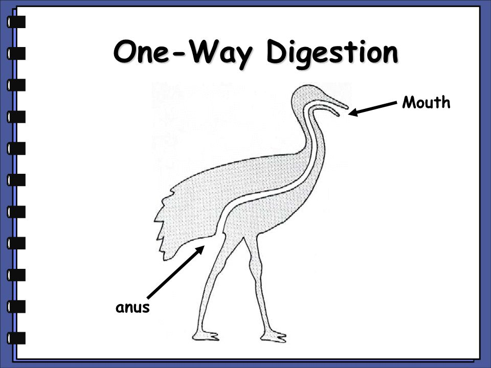 One-Way Digestion Mouth anus copyright cmassengale
