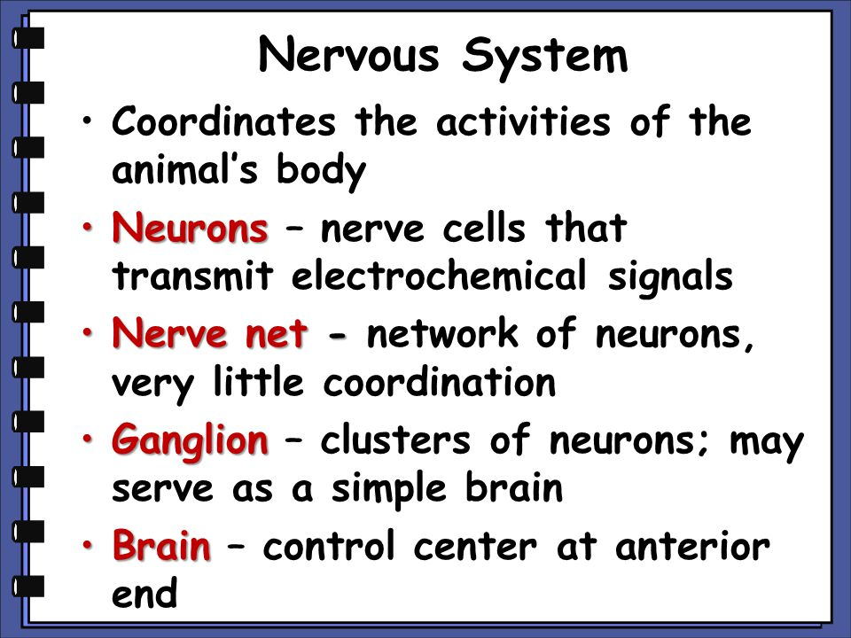 Nervous System Coordinates the activities of the animal's body