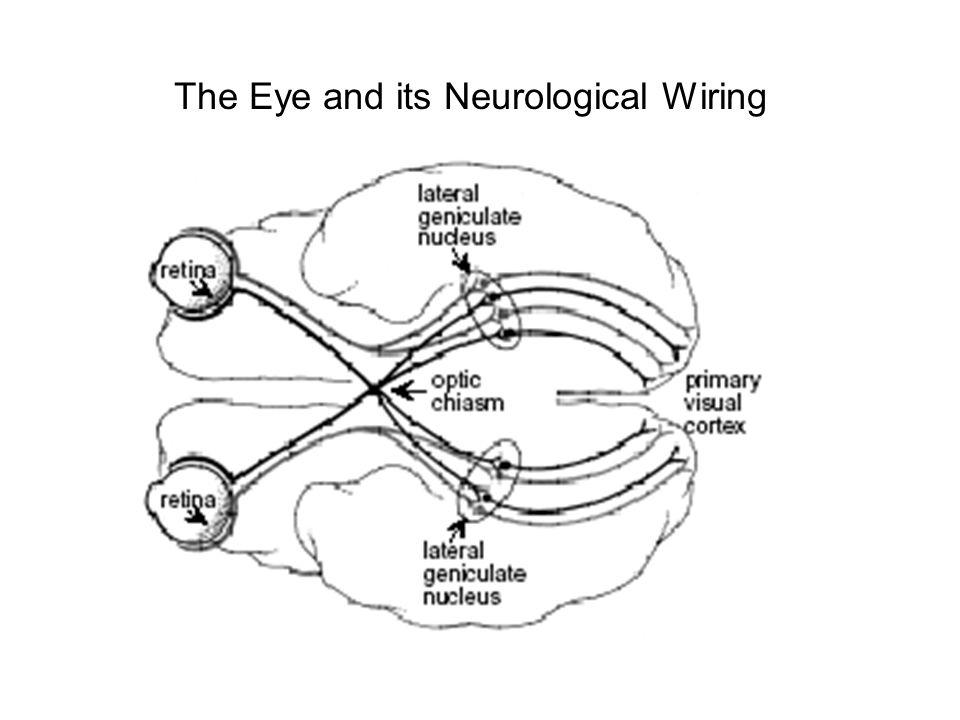 The Eye and its Neurological Wiring