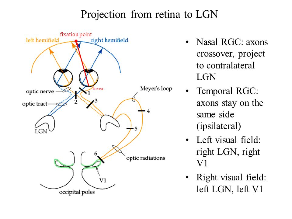 Projection from retina to LGN