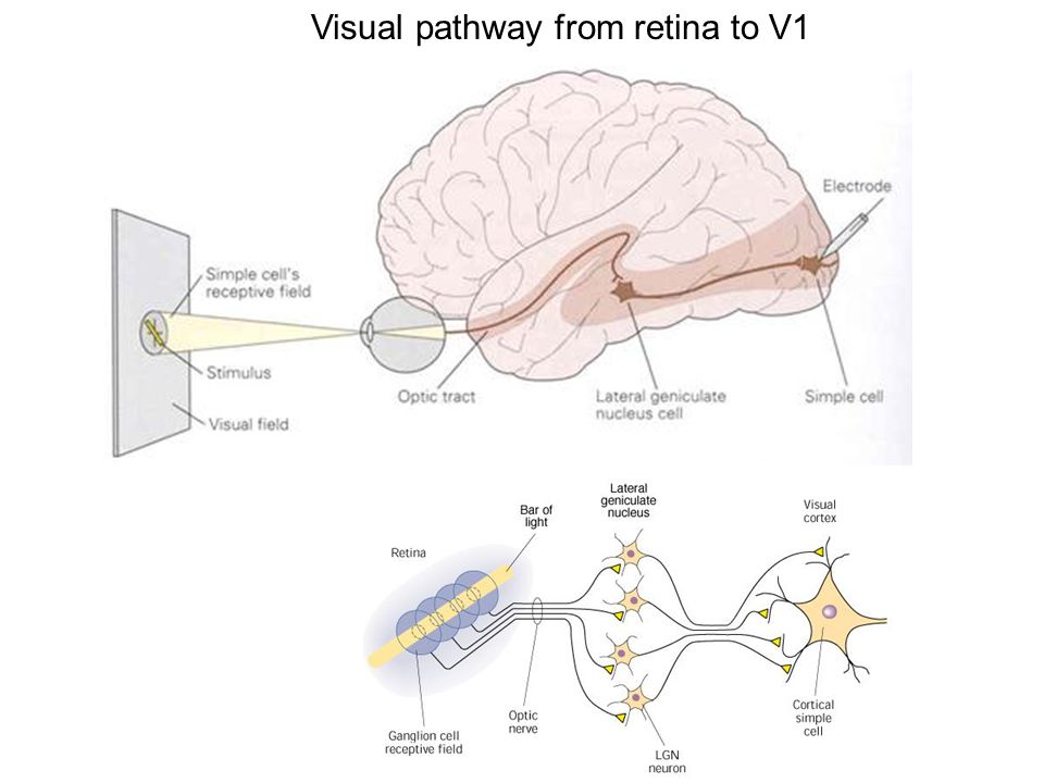 Visual pathway from retina to V1