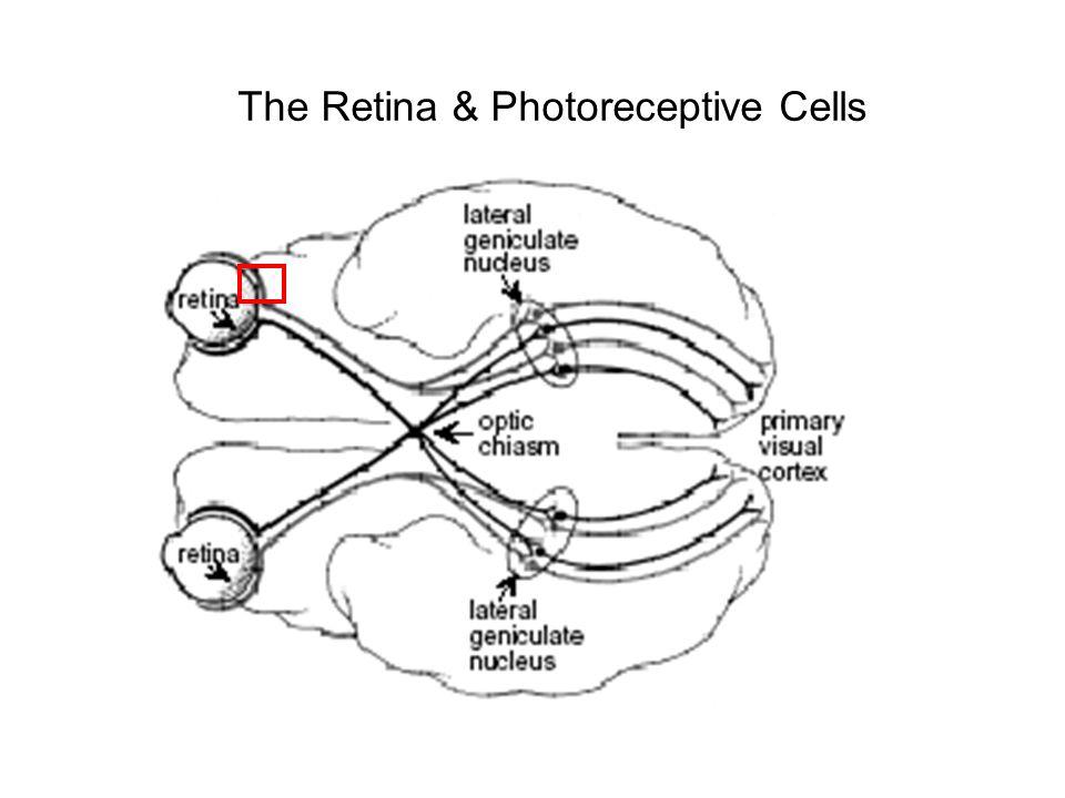 The Retina & Photoreceptive Cells