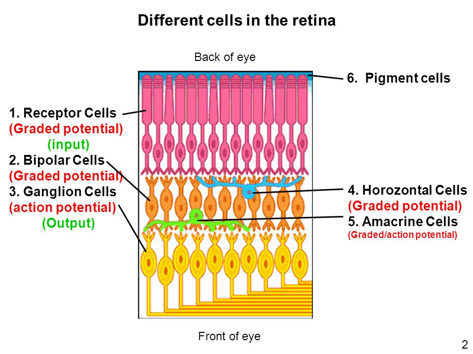 Different cells in the retina The Basic Retinal Circuit