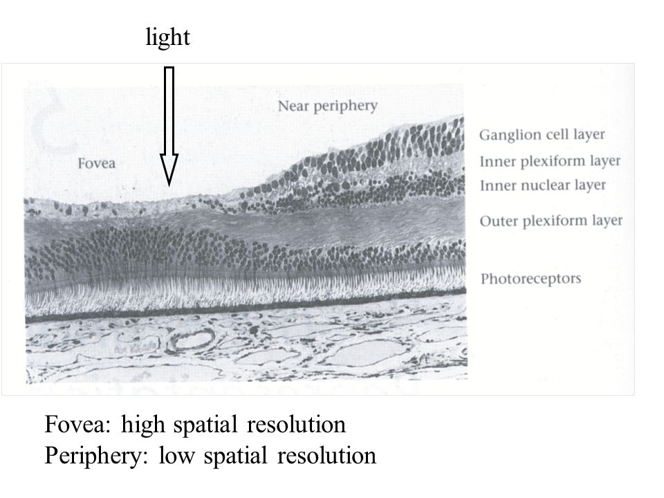 light Fovea: high spatial resolution Periphery: low spatial resolution