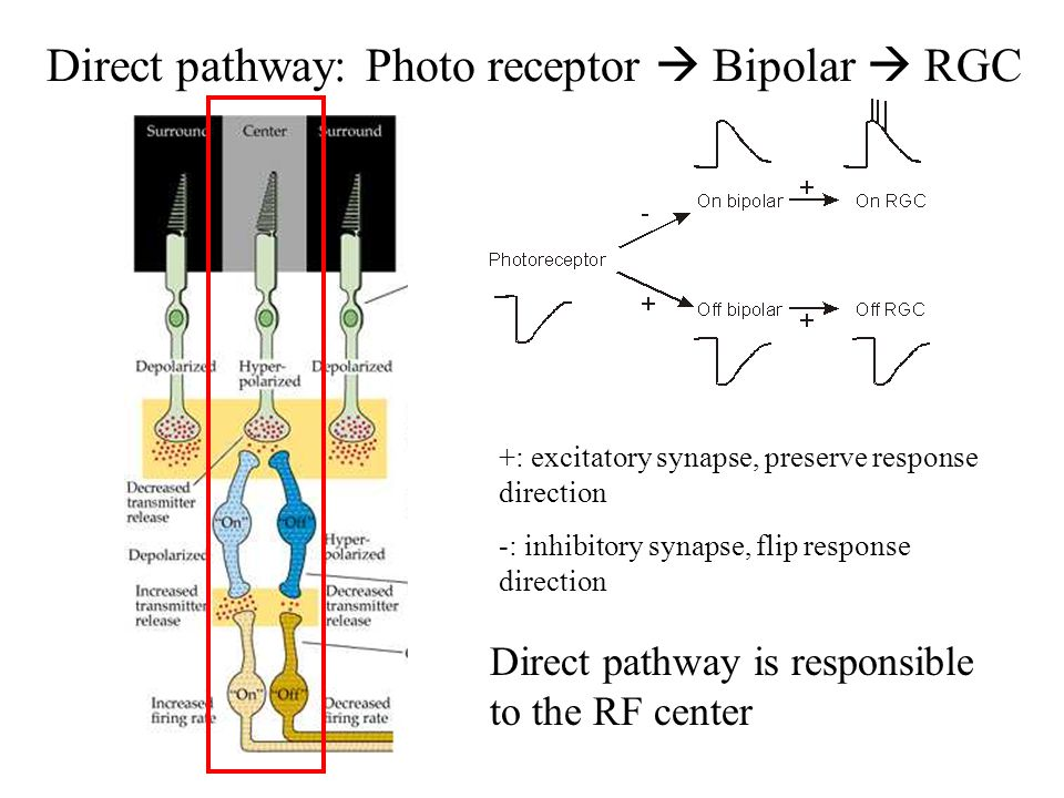 Direct pathway: Photo receptor  Bipolar  RGC