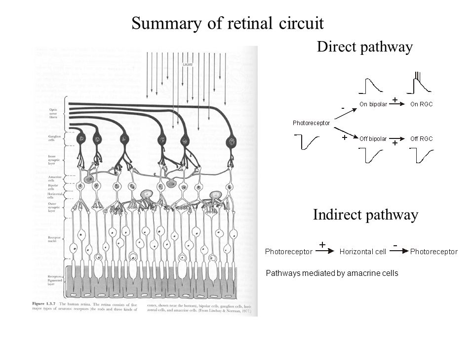 Summary of retinal circuit