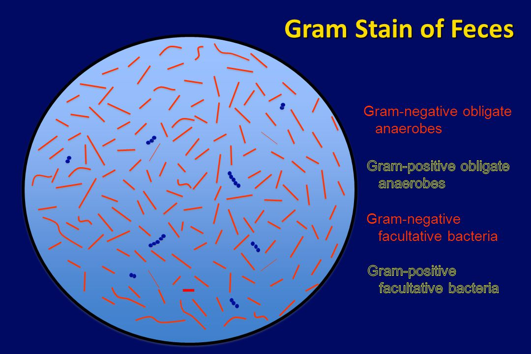 Gram Stain of Feces Gram-negative obligate anaerobes