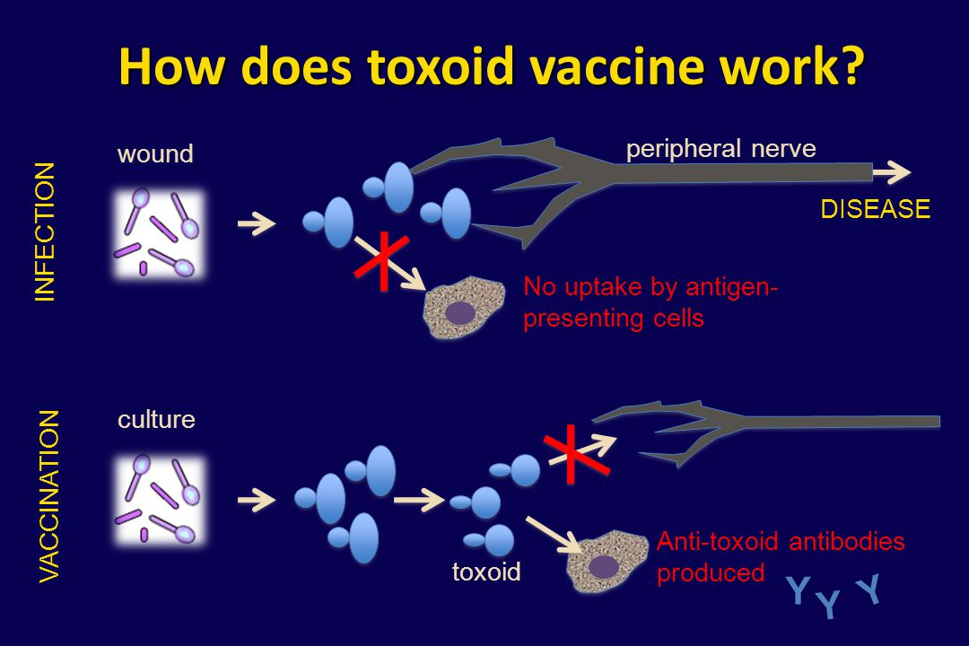 How does toxoid vaccine work